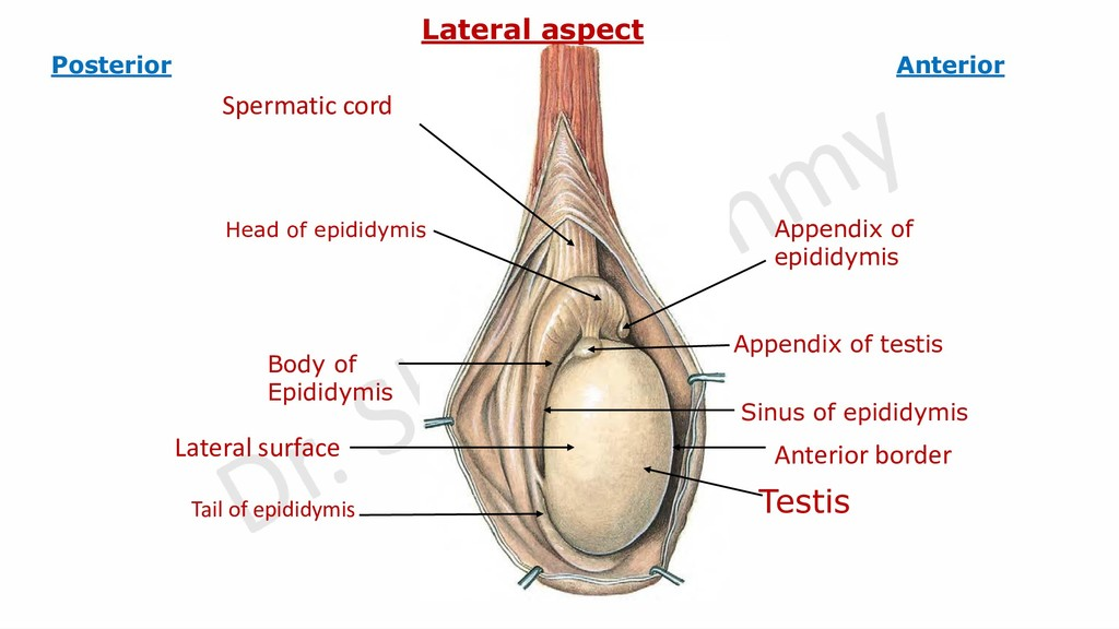 Testis Body of Epididymis Appendix of testis Ap...