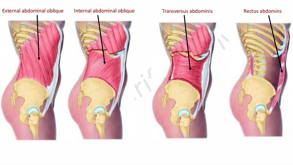 External abdominal oblique Internal abdominal o...
