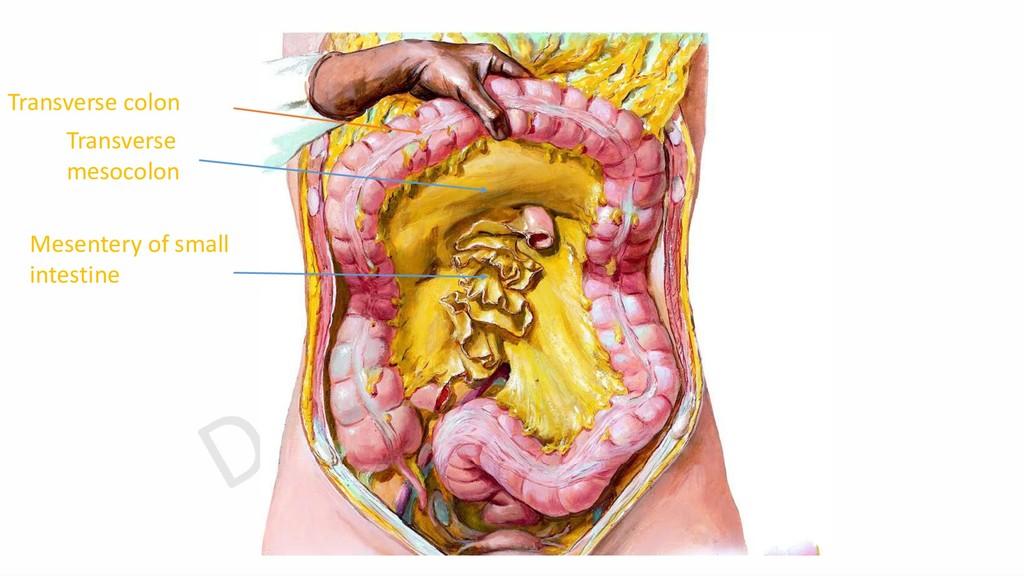 Transverse colon Transverse mesocolon Mesentery...