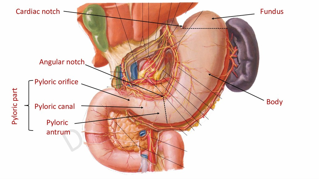 Cardiac notch Angular notch Fundus Body Pyloric...
