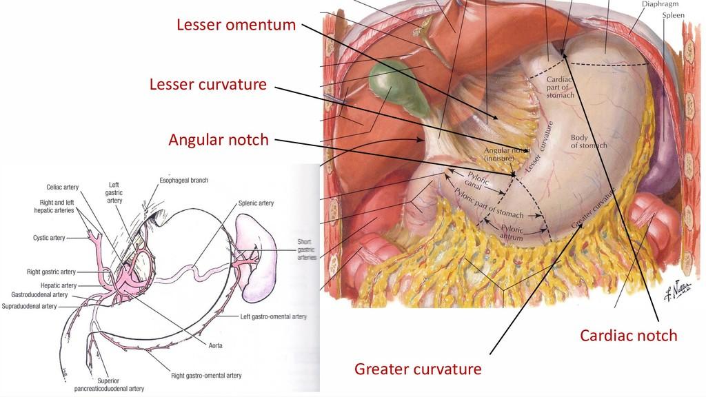 Lesser curvature Lesser omentum Angular notch G...