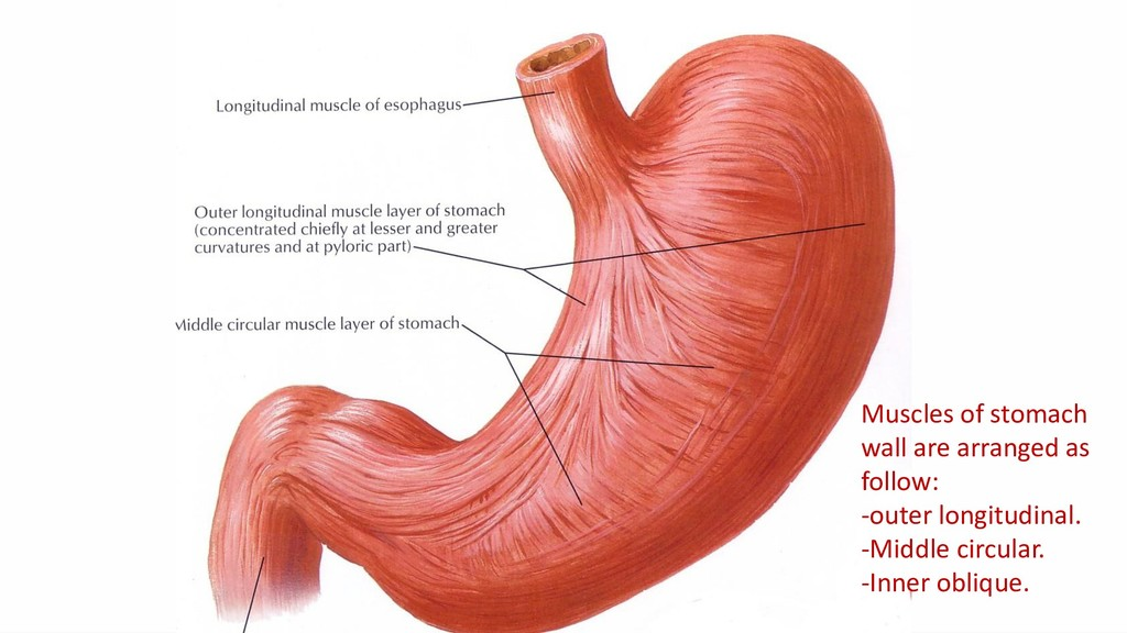 Muscles of stomach wall are arranged as follow:...