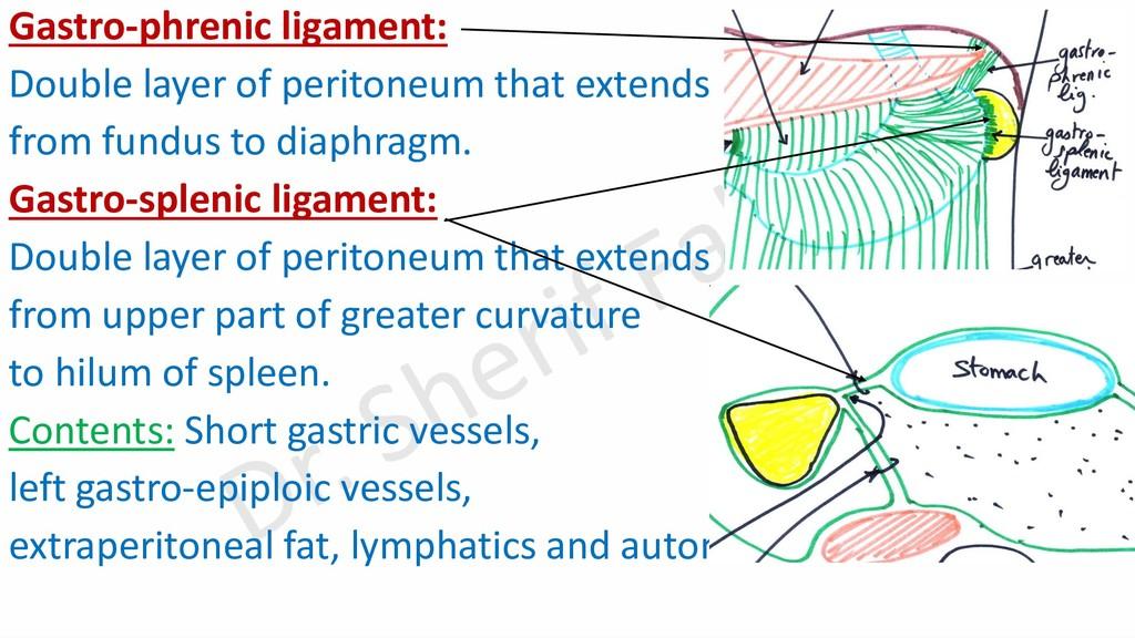 Gastro-phrenic ligament: Double layer of perito...