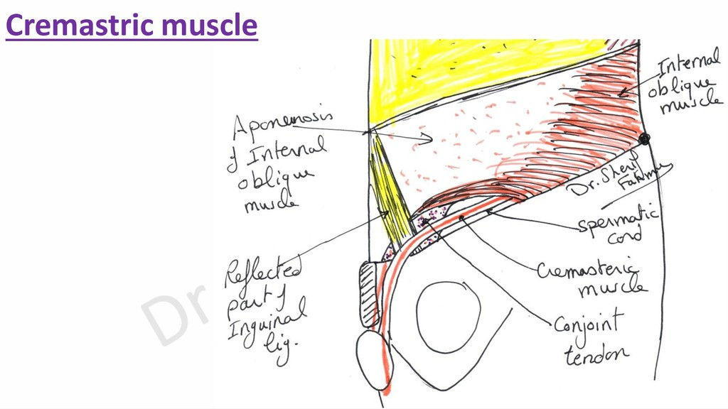 Cremastric muscle