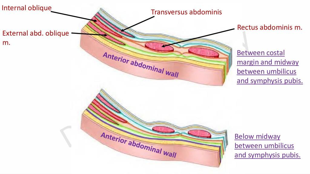 External abd. oblique m. Internal oblique Trans...