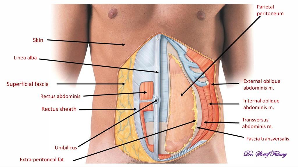 Skin Superficial fascia Rectus sheath External ...