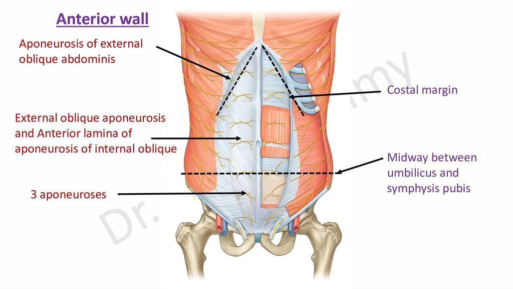 Aponeurosis of external oblique abdominis Exter...