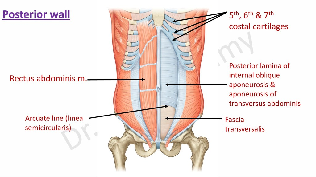 Rectus abdominis m. Fascia transversalis Poster...