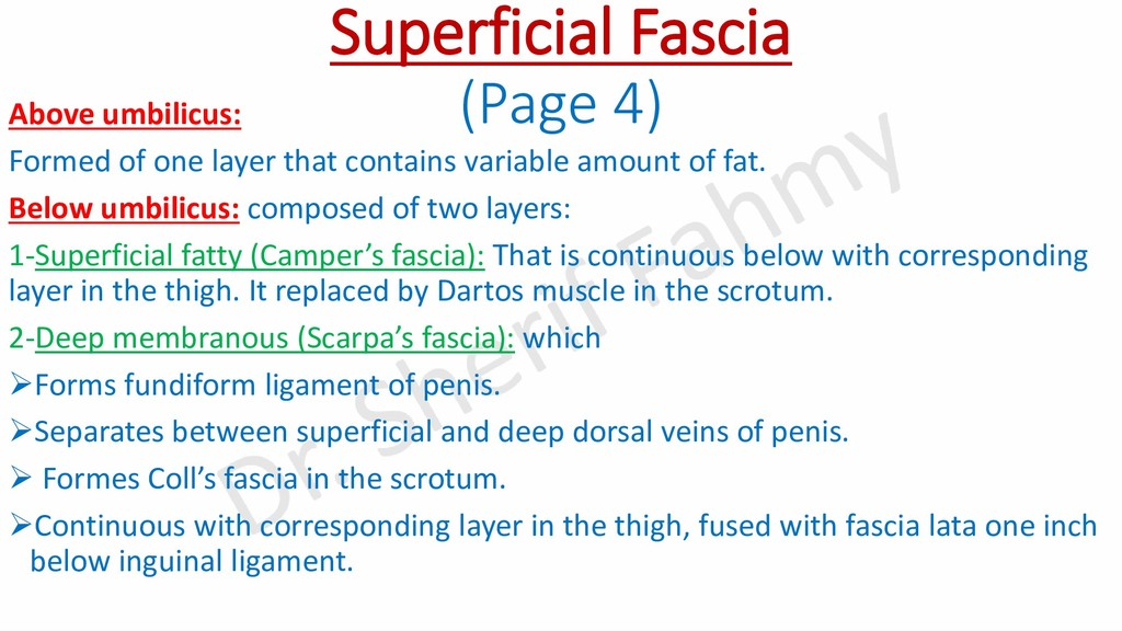 Superficial Fascia (Page 4) Above umbilicus: Fo...