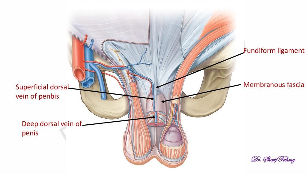 Fundiform ligament Membranous fascia Superficia...