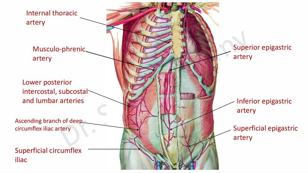 Superior epigastric artery Musculo-phrenic arte...