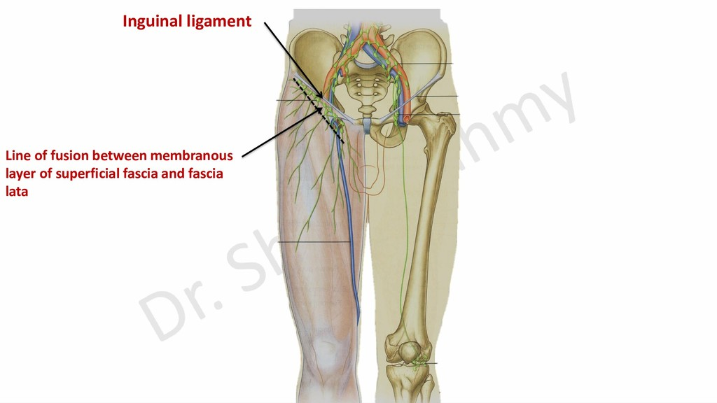 Inguinal ligament Line of fusion between membra...