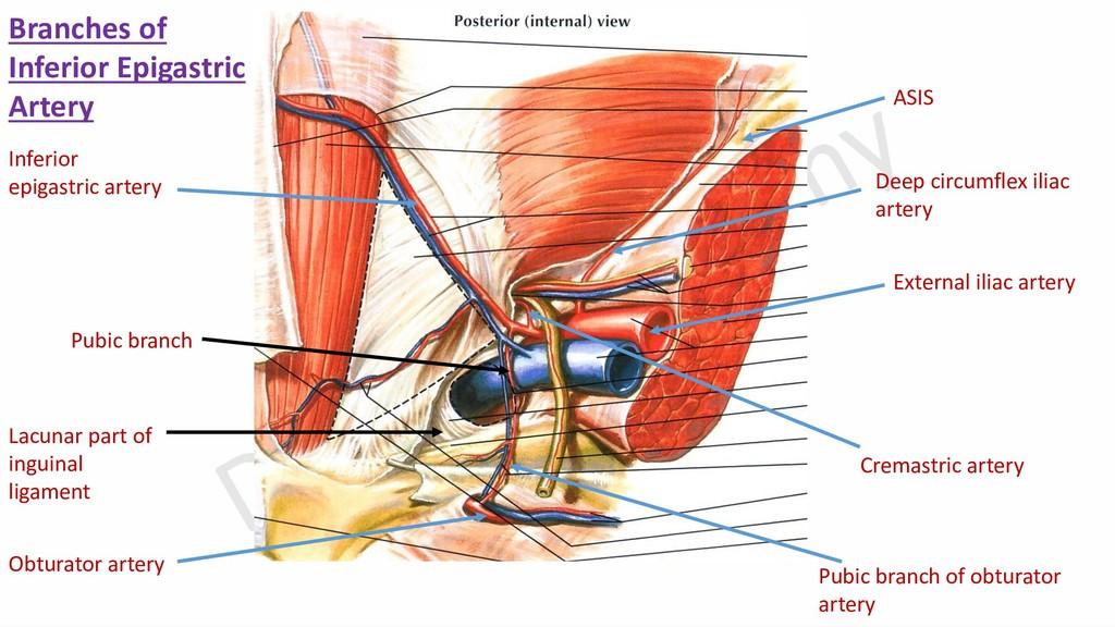 External iliac artery Deep circumflex iliac art...