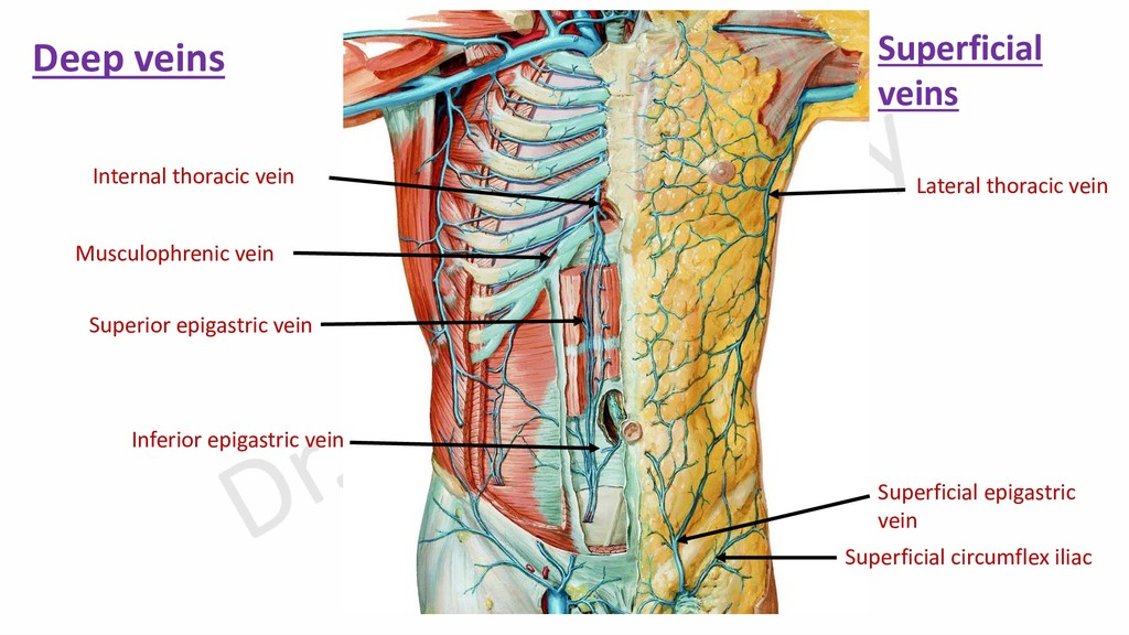 Lateral thoracic vein Superficial epigastric ve...