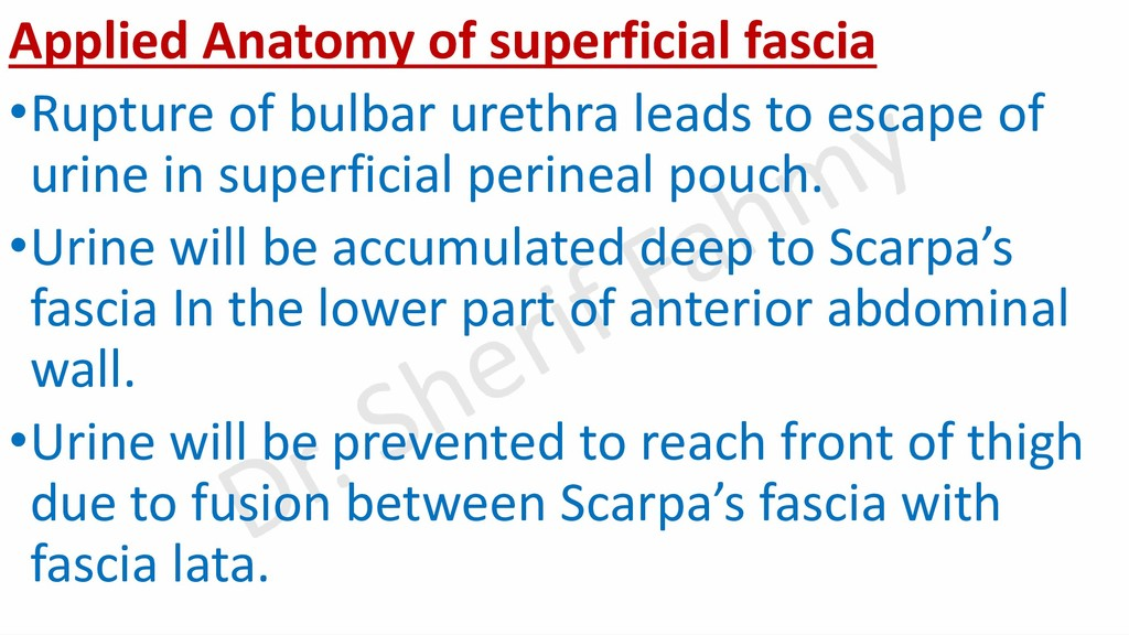 Applied Anatomy of superficial fascia •Rupture ...