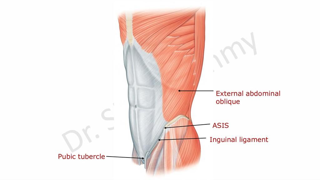 Inguinal ligament External abdominal oblique AS...
