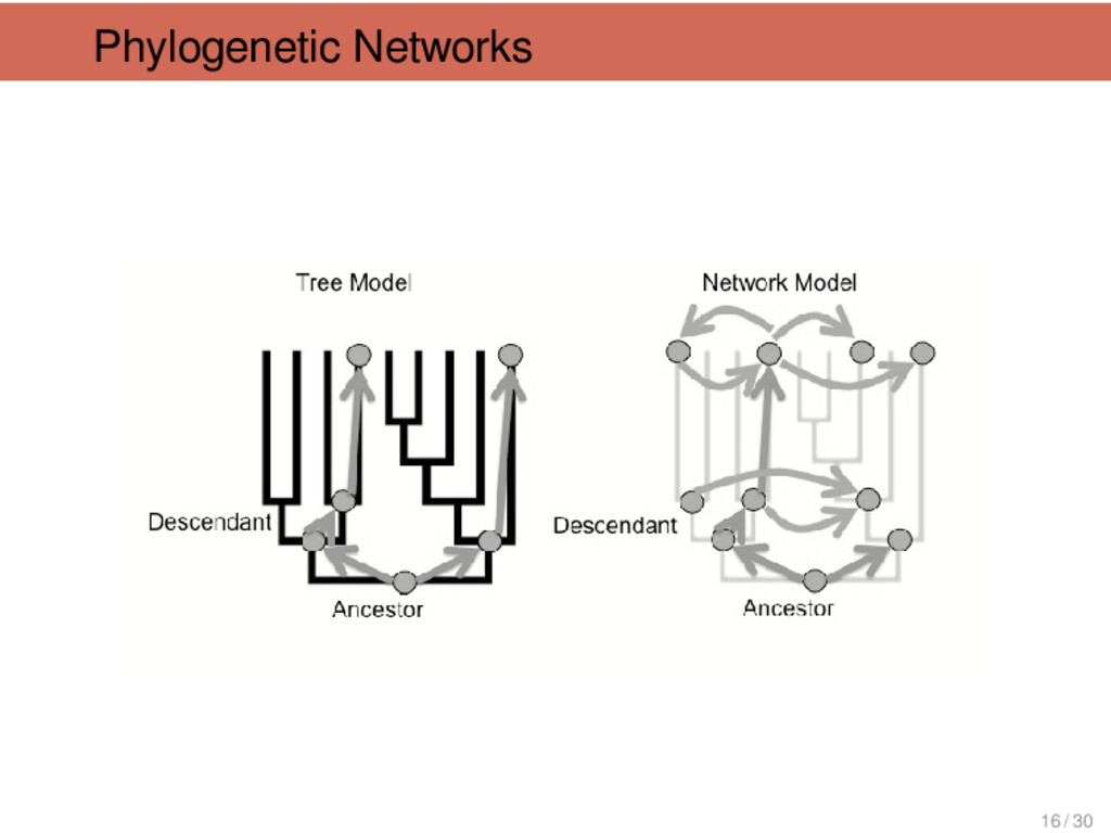 Phylogenetic Networks 16 / 30