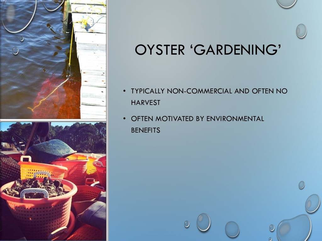 OYSTER 'GARDENING' • TYPICALLY NON-COMMERCIAL A...