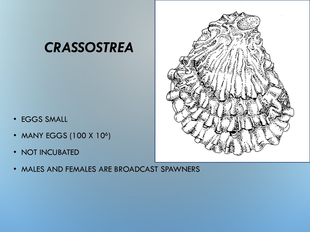 CRASSOSTREA • EGGS SMALL • MANY EGGS (100 X 106...