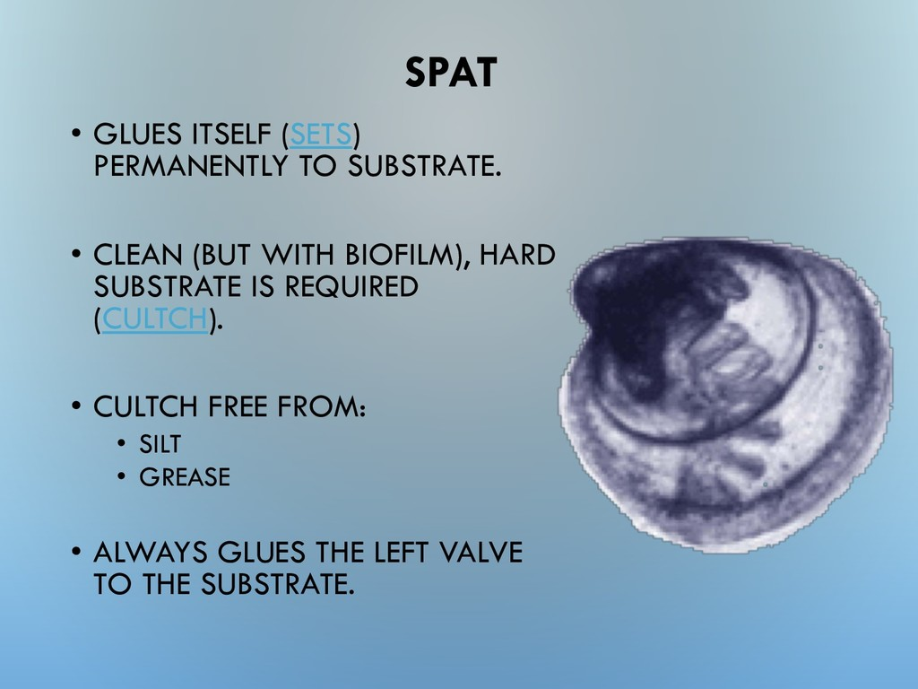 SPAT • GLUES ITSELF (SETS) PERMANENTLY TO SUBST...