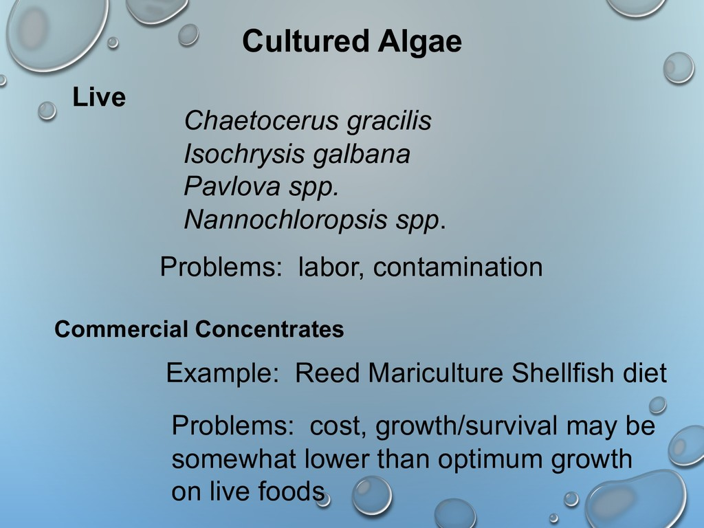 Cultured Algae Chaetocerus gracilis Isochrysis ...