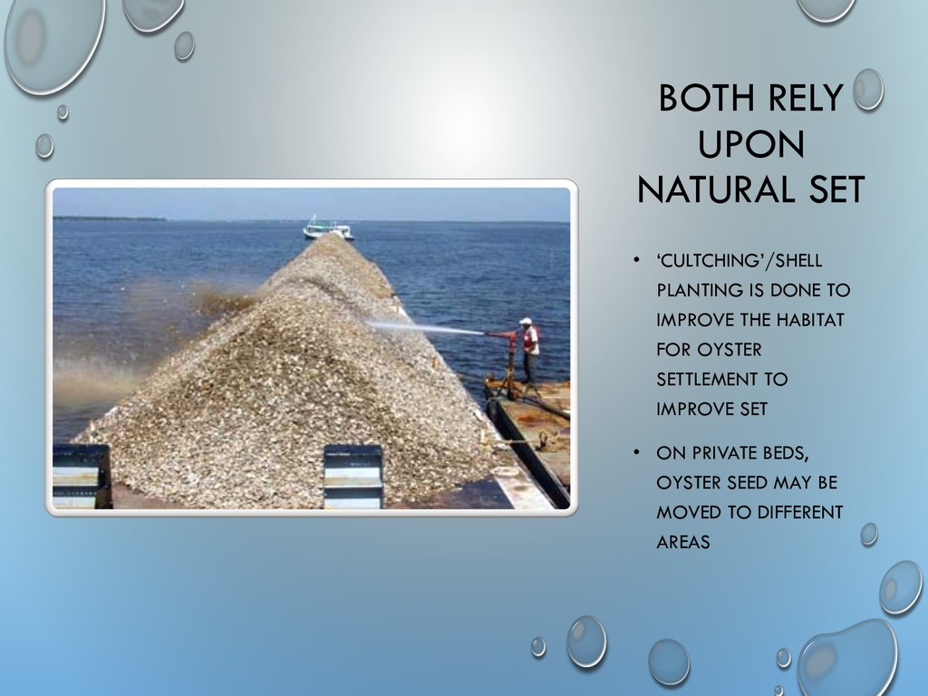 • 'CULTCHING'/SHELL PLANTING IS DONE TO IMPROVE...
