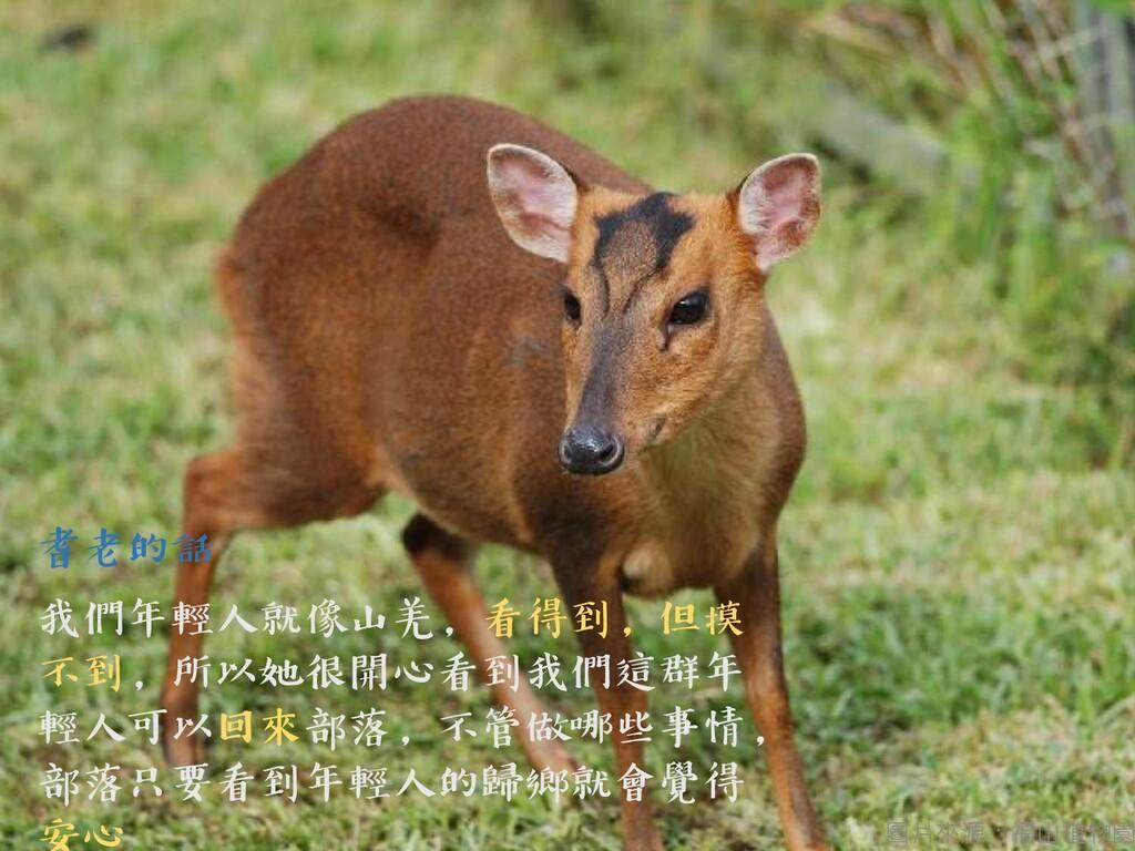 圖片來源:福山植物園 耆老的話 我們年輕人就像山羌,看得到,但摸 不到,所以她很開心看到我們這...