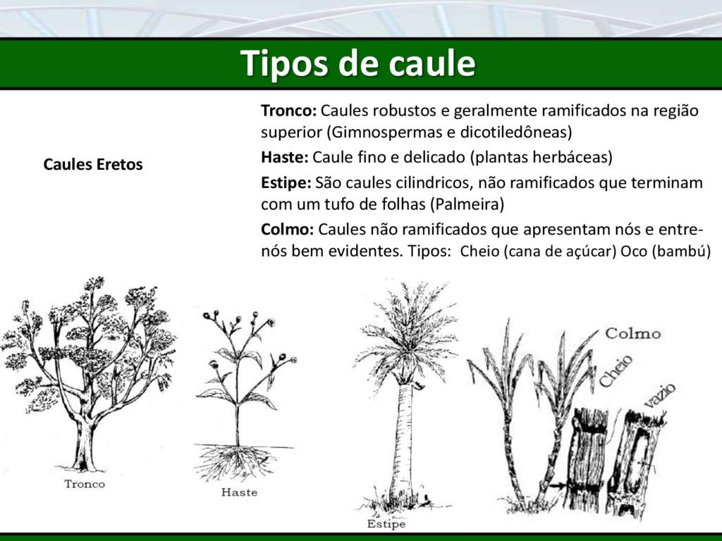 Tipos de caule Caules Eretos Tronco: Caules rob...