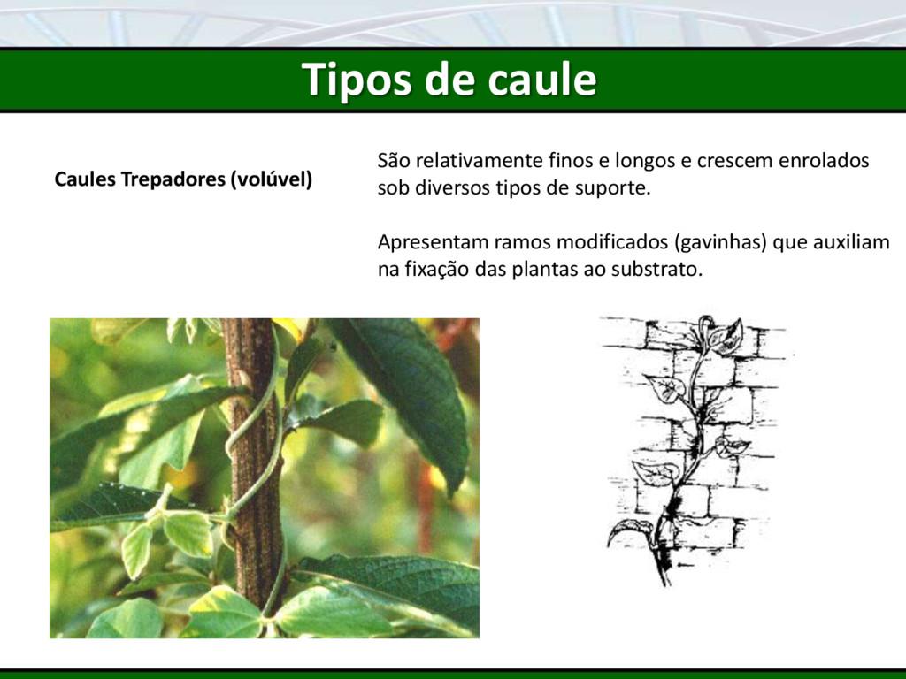 Caules Trepadores (volúvel) São relativamente f...
