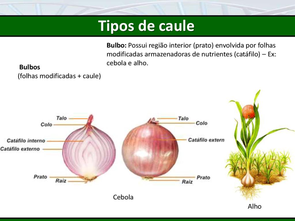 Bulbos (folhas modificadas + caule) Bulbo: Poss...