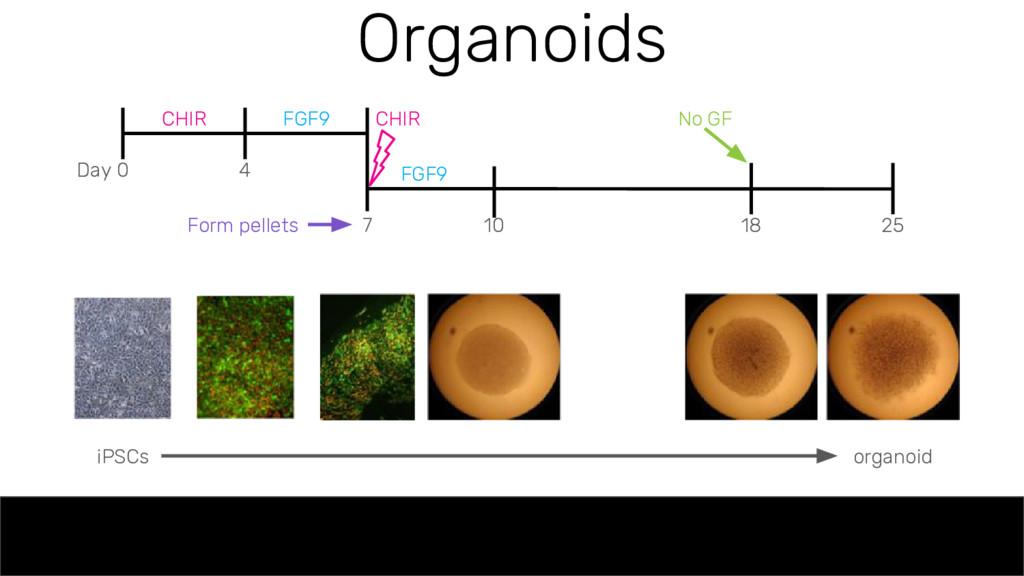 Organoids Day 0 4 7 10 18 25 CHIR FGF9 FGF9 CHI...