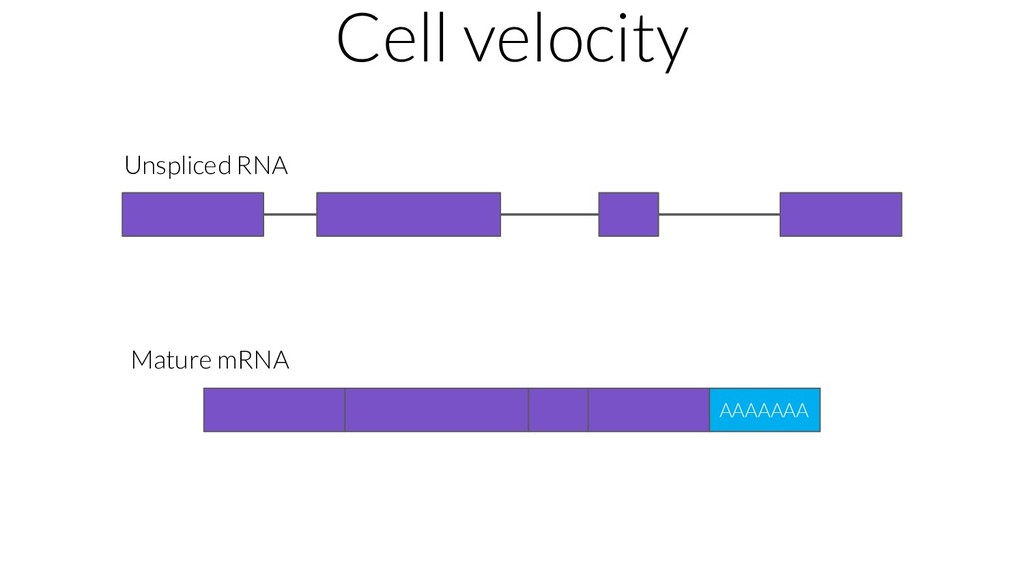 Cell velocity AAAAAAA Unspliced RNA Mature mRNA