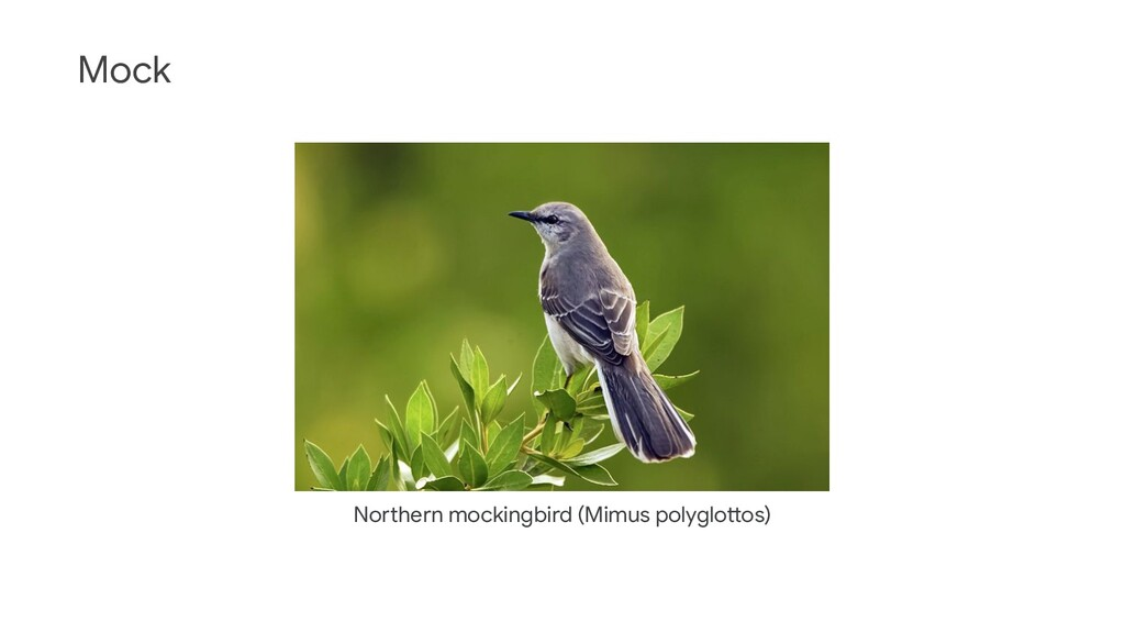 Mock Northern mockingbird (Mimus polyglottos)