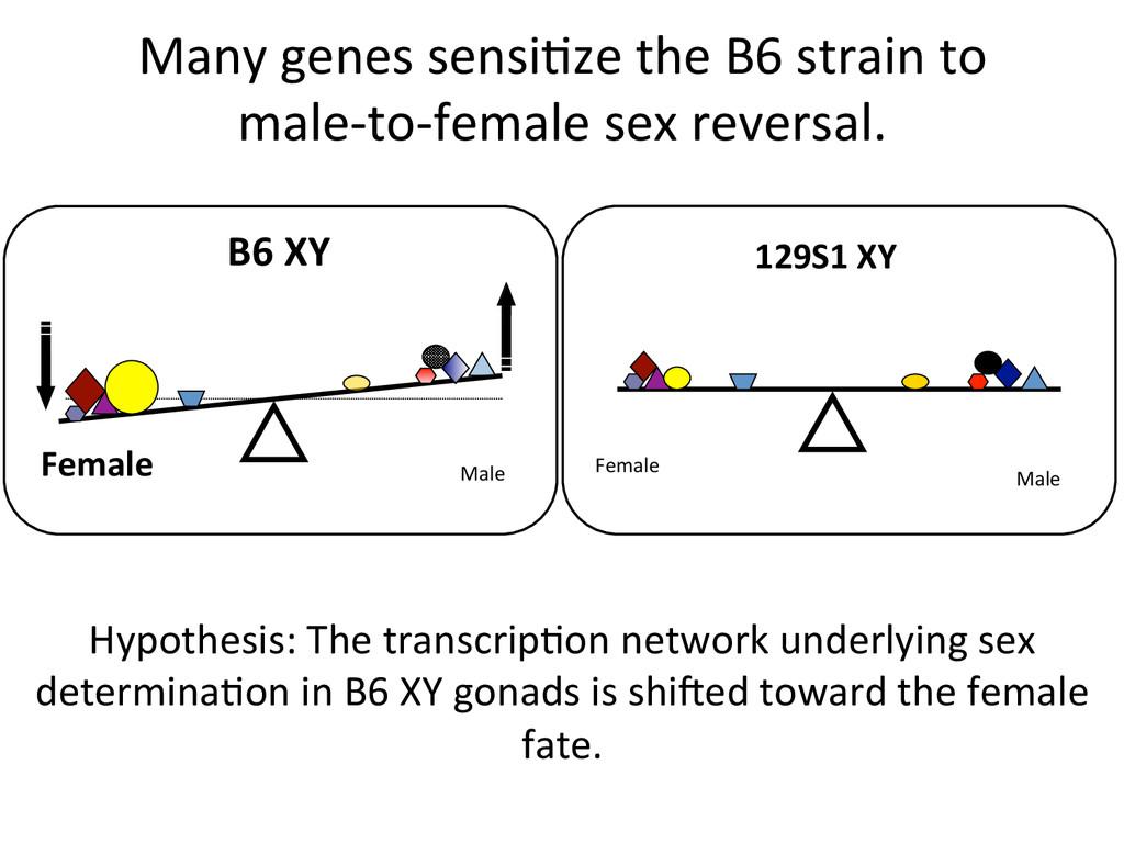 Many genes sensi7ze the B6 strai...