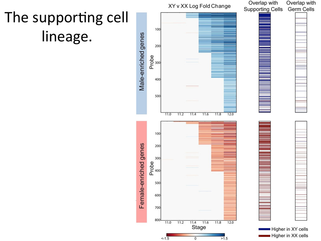 The suppor7ng cell  lineage.