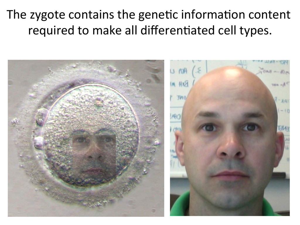 The zygote contains the gene7c i...