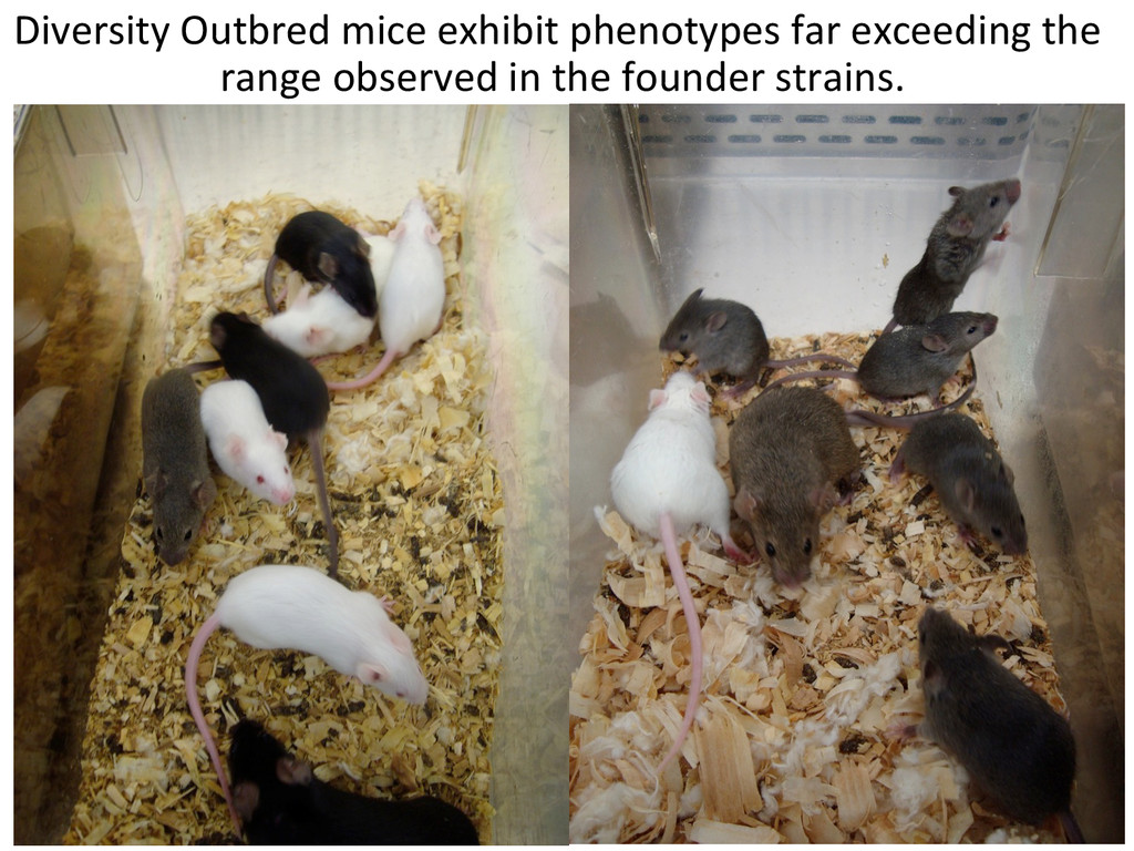 Diversity Outbred mice exhibit phen...
