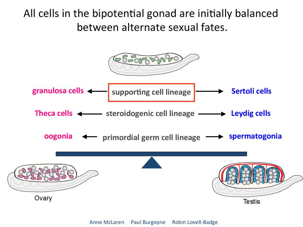 granulosa cells ...
