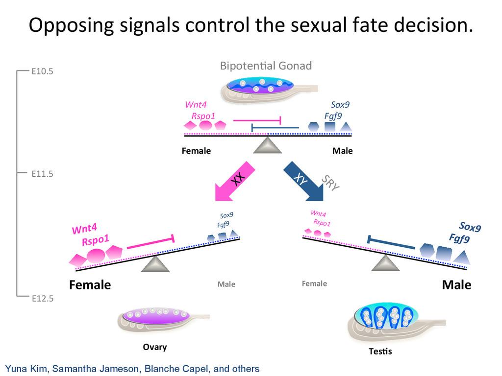 Ovary  Female  Male  Wnt4    ...