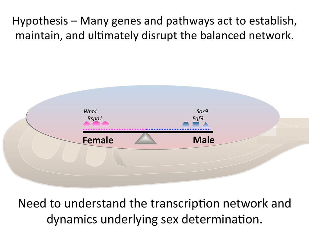 Hypothesis – Many genes and path...