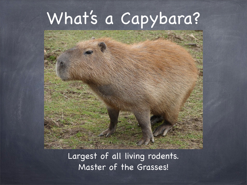 Largest of all living rodents. Master of the Gr...