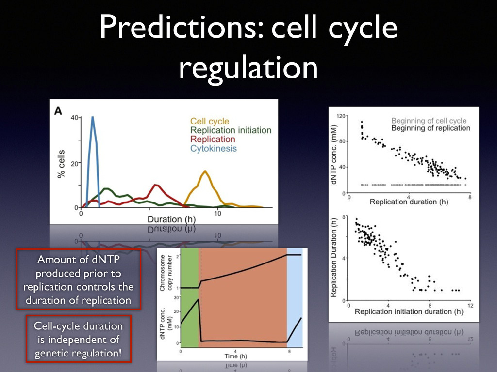 Predictions: cell cycle regulation Amount of dN...