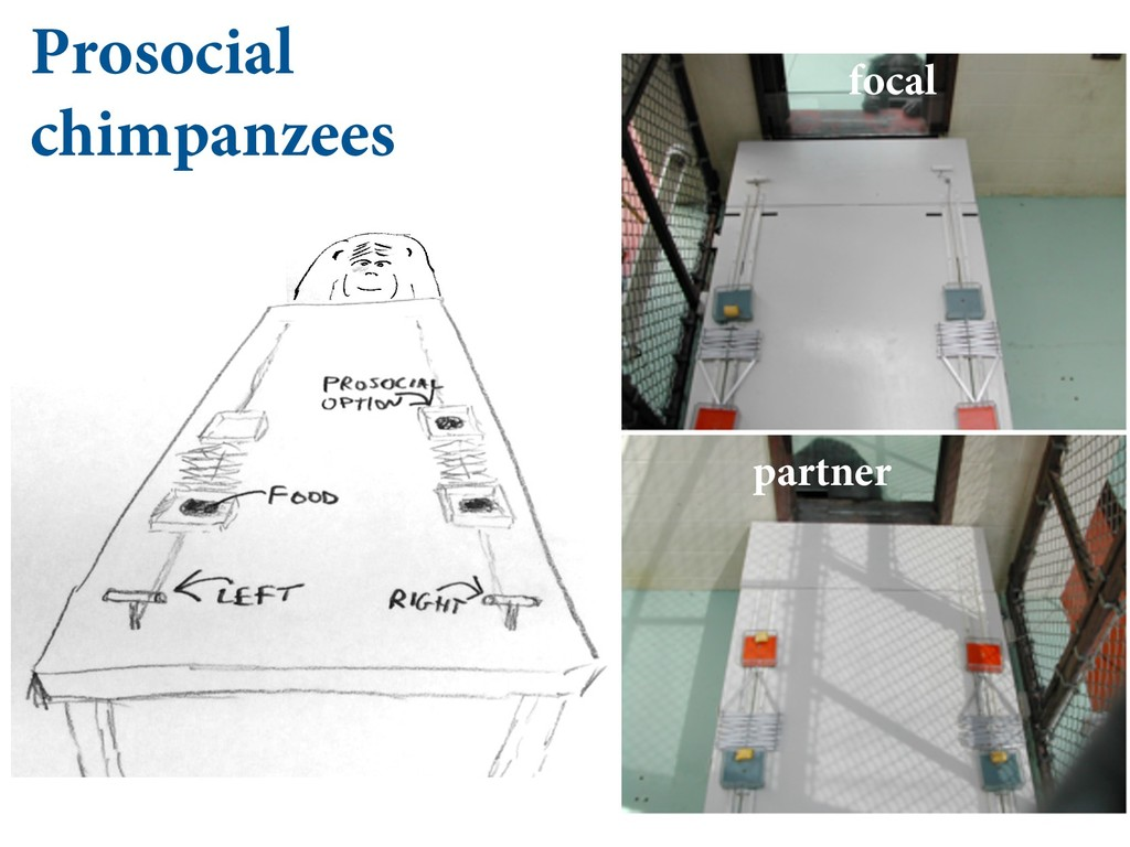 Prosocial chimpanzees partner focal  #*/0....