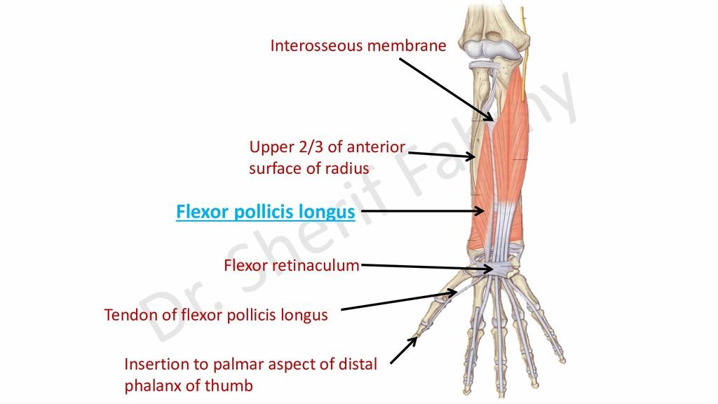 Interosseous membrane Flexor retinaculum Flexor...