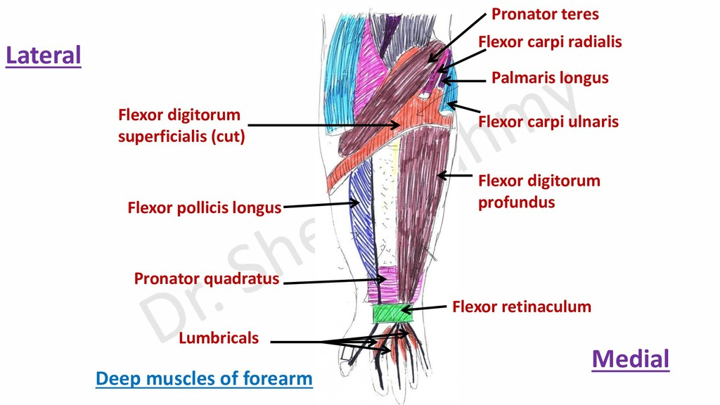 Pronator teres Flexor carpi radialis Palmaris l...