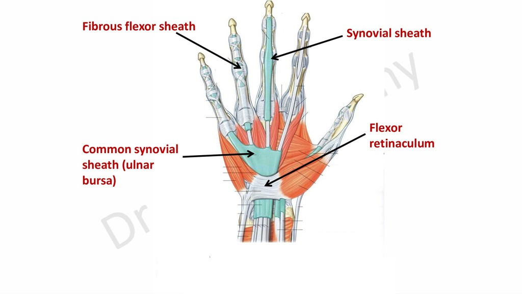 Common synovial sheath (ulnar bursa) Flexor ret...