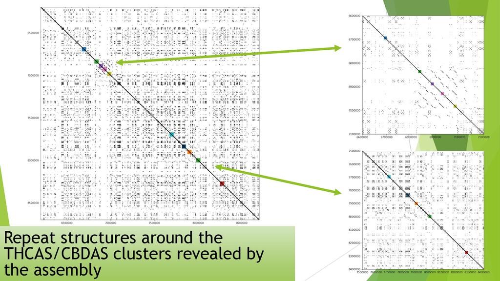 Repeat structures around the THCAS/CBDAS cluste...