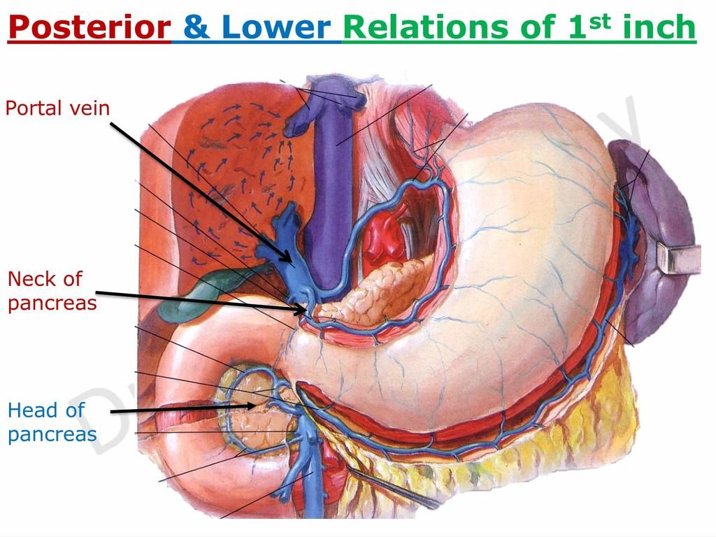Portal vein Neck of pancreas Posterior & Lower ...