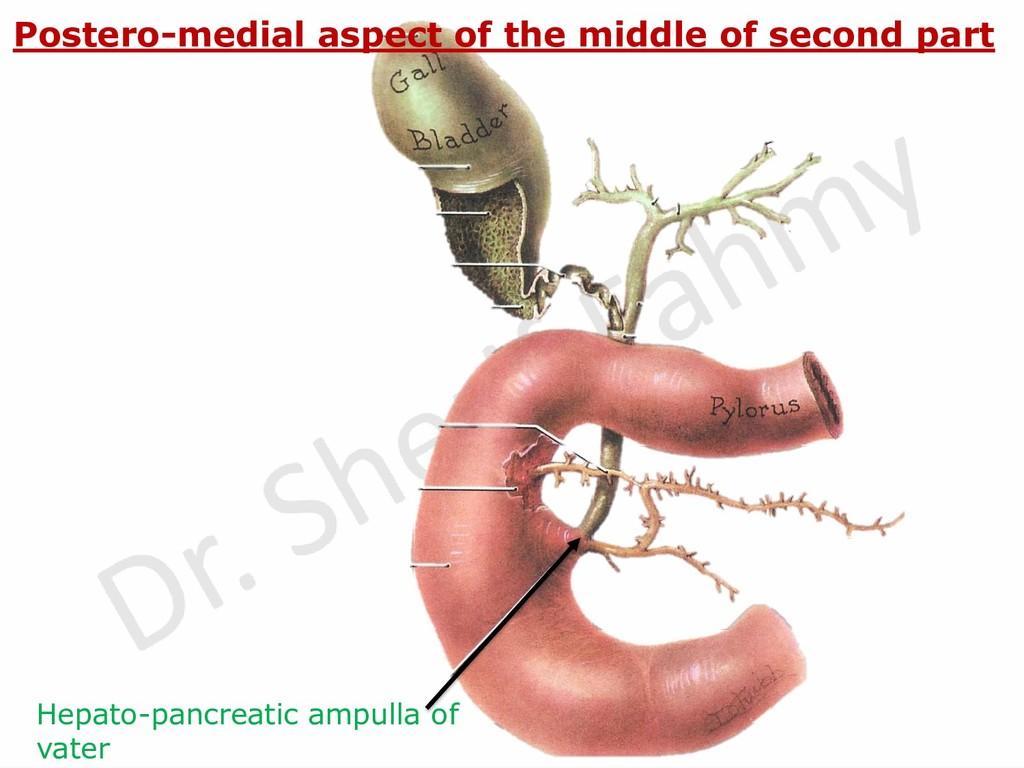 Hepato-pancreatic ampulla of vater Postero-medi...