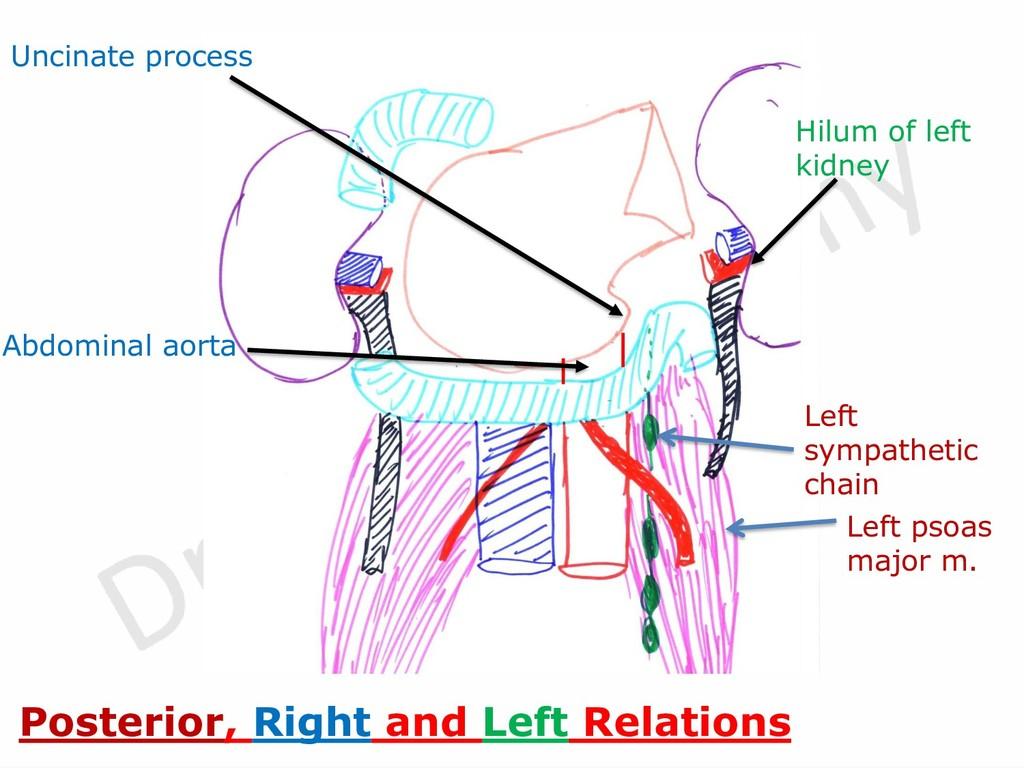 Left psoas major m. Left sympathetic chain Unci...